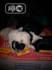 Baby Male Purebred Lhasa Apso | Dogs & Puppies for sale in Rivers State, Oyigbo