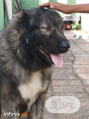 Caucasian Stud For Crossing | Pet Services for sale in Abuja (FCT) State, Kaura