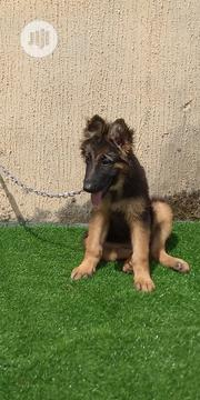 Young Female Purebred German Shepherd Dog | Dogs & Puppies for sale in Enugu State, Enugu South