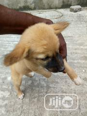 Baby Female Purebred | Dogs & Puppies for sale in Lagos State, Lagos Mainland