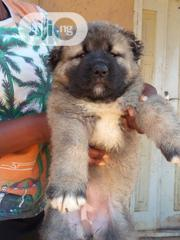 Baby Female Purebred Caucasian Shepherd Dog | Dogs & Puppies for sale in Abuja (FCT) State, Gwarinpa