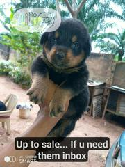 Baby Female Purebred Rottweiler | Dogs & Puppies for sale in Enugu State, Enugu East