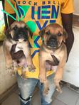 Baby Female Purebred Boerboel | Dogs & Puppies for sale in Gwarinpa, Abuja (FCT) State, Nigeria