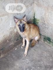 Baby Male Purebred German Shepherd Dog | Dogs & Puppies for sale in Oyo State, Ido