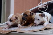 Baby Female Purebred American Pit Bull Terrier | Dogs & Puppies for sale in Lagos State, Lagos Mainland