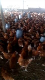 16 Weeks Old Point Of Laying | Livestock & Poultry for sale in Ogun State, Ifo
