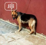 Adult Female Purebred German Shepherd Dog | Dogs & Puppies for sale in Lagos State, Lagos Mainland