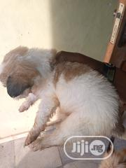 Young Female Mixed Breed Australian Terrier | Dogs & Puppies for sale in Ogun State, Ado-Odo/Ota