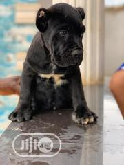 Baby Female Purebred Cane Corso | Dogs & Puppies for sale in Lagos State, Lagos Mainland