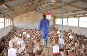 Buy Eggs And Poultry Birds . | Meals & Drinks for sale in Ogun State, Abeokuta North
