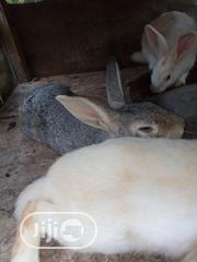 Rabbits For Sale | Livestock & Poultry for sale in Oyo State, Oluyole