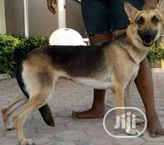 Adult Female Purebred German Shepherd Dog | Dogs & Puppies for sale in Oyo State, Ibadan South East