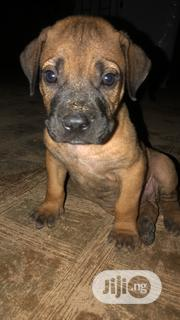 Baby Female Purebred Boerboel | Dogs & Puppies for sale in Ogun State, Abeokuta North