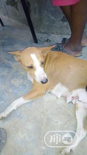 Adult Female Purebred Mongrel (No Breed) | Dogs & Puppies for sale in Ogun State, Obafemi-Owode