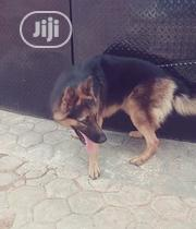 Adult Male Purebred German Shepherd Dog | Dogs & Puppies for sale in Oyo State, Ibadan