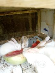 Winners Rabbit For Sell | Livestock & Poultry for sale in Lagos State, Egbe Idimu