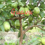 Improved Hybrid Guava Seedling For Sale | Feeds, Supplements & Seeds for sale in Oyo State, Ibadan North
