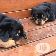 Young Female Purebred Rottweiler | Dogs & Puppies for sale in Lagos State, Lagos Mainland