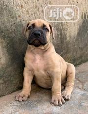 Baby Male Purebred Boerboel | Dogs & Puppies for sale in Ogun State, Ado-Odo/Ota