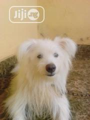 Adult Male Purebred American Eskimo Dog | Dogs & Puppies for sale in Lagos State, Ipaja