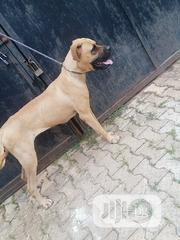 Adult Female Purebred Boerboel | Dogs & Puppies for sale in Oyo State, Ibadan North East