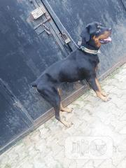 Adult Female Purebred Rottweiler | Dogs & Puppies for sale in Oyo State, Ibadan North East