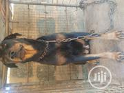 Adult Female Purebred Rottweiler   Dogs & Puppies for sale in Lagos State, Alimosho