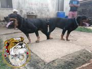 Rottweiler For Matting Service | Dogs & Puppies for sale in Lagos State, Ipaja