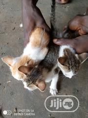 Young Male Mixed Breed Mongrel (No Breed) | Cats & Kittens for sale in Kogi State, Lokoja