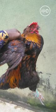 Live Noilers | Livestock & Poultry for sale in Lagos State, Alimosho