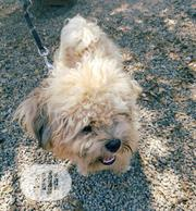 Young Male Purebred Lhasa Apso | Dogs & Puppies for sale in Abuja (FCT) State, Karu