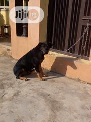Young Male Purebred German Shepherd Dog | Dogs & Puppies for sale in Ogun State, Ado-Odo/Ota