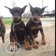 Baby Female Purebred Doberman Pinscher | Dogs & Puppies for sale in Abuja (FCT) State, Nyanya