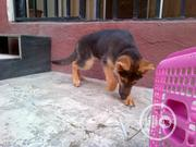 Baby Female Purebred German Shepherd Dog | Dogs & Puppies for sale in Abuja (FCT) State, Nyanya