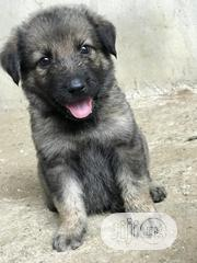 Baby Male Mixed Breed German Shepherd Dog | Dogs & Puppies for sale in Rivers State, Port-Harcourt