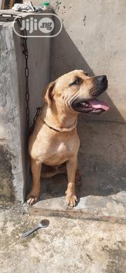Senior Male Purebred Boerboel   Dogs & Puppies for sale in Oyo State, Akinyele
