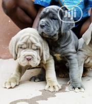 Baby Female Purebred Neapolitan Mastiff | Dogs & Puppies for sale in Abuja (FCT) State, Nyanya