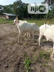Direct Farm Livestocks | Livestock & Poultry for sale in Lagos State, Epe