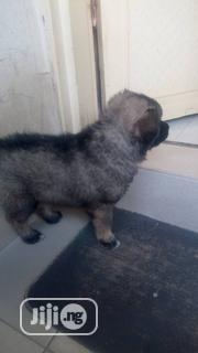 Baby Male Purebred Caucasian Shepherd Dog | Dogs & Puppies for sale in Abuja (FCT) State, Kubwa