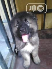 Baby Male Purebred Caucasian Shepherd Dog | Dogs & Puppies for sale in Rivers State, Obio-Akpor
