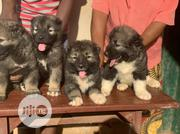 Young Male Purebred Caucasian Shepherd Dog | Dogs & Puppies for sale in Lagos State, Lagos Mainland
