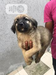 Baby Male Mixed Breed German Shepherd Dog | Dogs & Puppies for sale in Rivers State, Ikwerre