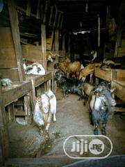 Obuko / Ewure Goat For Sale | Livestock & Poultry for sale in Lagos State, Lagos Island