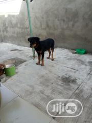 Senior Male Purebred Rottweiler   Dogs & Puppies for sale in Oyo State, Ibadan North