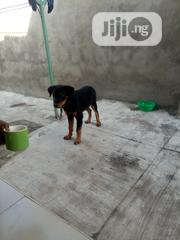 Senior Male Purebred Rottweiler | Dogs & Puppies for sale in Oyo State, Ibadan North
