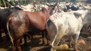 Cow For Sale | Livestock & Poultry for sale in Edo State, Ikpoba-Okha