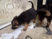 Baby Male Purebred German Shepherd Dog | Dogs & Puppies for sale in Oyo State, Ibadan South West