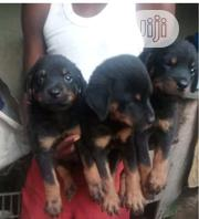 Young Female Purebred Rottweiler   Dogs & Puppies for sale in Oyo State, Surulere-Oyo