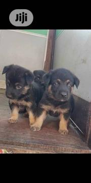 Baby Female Purebred German Shepherd Dog | Dogs & Puppies for sale in Oyo State, Ibadan South East