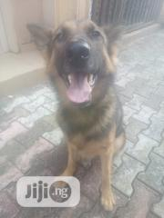 German Shepherd Stud Service | Pet Services for sale in Edo State, Egor